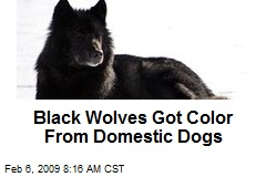 Black Wolves Got Color From Domestic Dogs