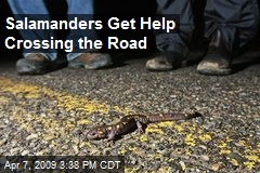 Salamanders Get Help Crossing the Road